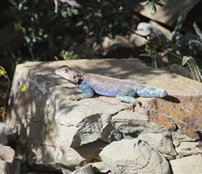 Sun basking lizard with half a tail