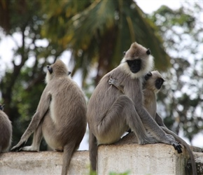 Tufted Gray Langur at Ruwanwelisay