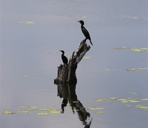 Cormorants on Kadawalawewa Tank