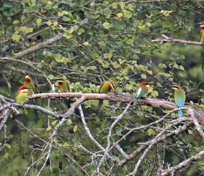 Bee eaters in the trees