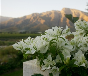 Bouganvilliers in the sunset at Nuy farm