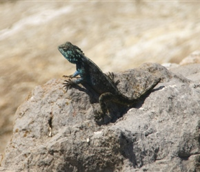 Lizard at Stony Point