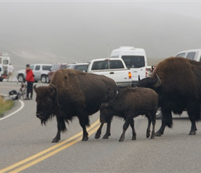 Bison crossing the road in the Haydon Valley, producing quite a vehicle jam