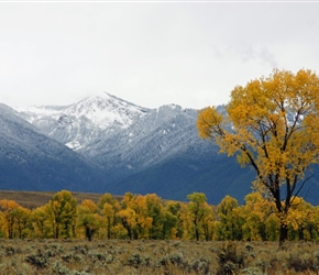 Aspens and fresh snow on the mountains