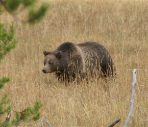 Grizzly Bear in Lake. Having spent 2 weeks staring into bushes etc to se one, this one popped up in full view as we left the accommodation
