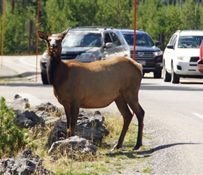 Female Elk causes a road block