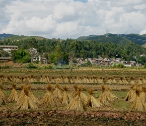Rice straw stacked and drying
