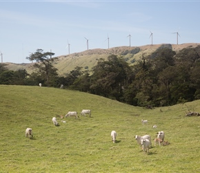 Cows and turbines