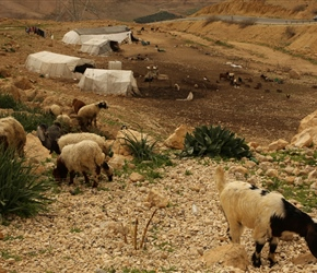 Grazing Goats and tented settlement