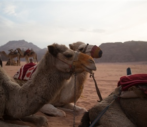 Camels waiting for the sunset
