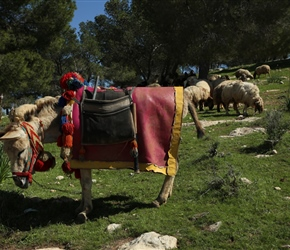 Some goat herders had a single decorated donkey