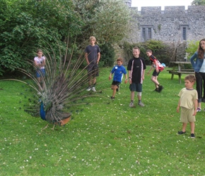 Peacock at Banwell castle