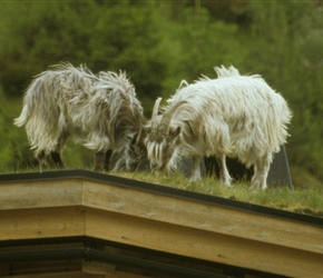 Goats grazing the grassed rooves